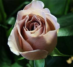 Рене госинни роза купить
