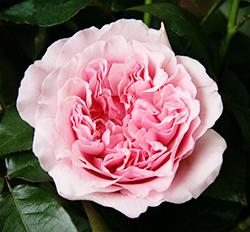 Nov 23,  · David Austin Roses Promo Codes, Coupons And Sales For December Grab this awsome deal: David Austin Roses Promo Codes, Coupons and Sales For December using this David Austin Roses promo code. Great offers won't last long! MORE+.